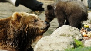 Kamchatka Brown Bear Mascha and one of her two three-month-old cubs are pictured in Hagenbecks Zoo in Hamburg, northern Germany April 29, 2011. REUTERS/Fabian Bimmer (GERMANY - Tags: ANIMALS IMAGES OF THE DAY) - GM1E74T1OLI01